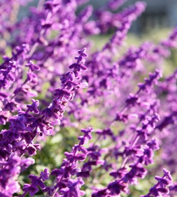 Purple lavender closeup background